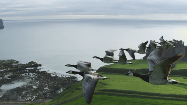 air-to-air slo mo flying alongside line of barnacle geese with shoreline and tantallon castle in background  - goose stock videos & royalty-free footage