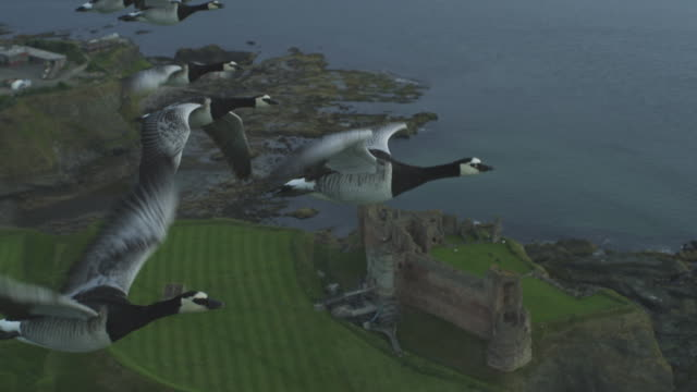 vídeos y material grabado en eventos de stock de air-to-air ha flying alongside line of barnacle geese with tantallon castle in background then they rise to clear air background - grupo mediano de animales