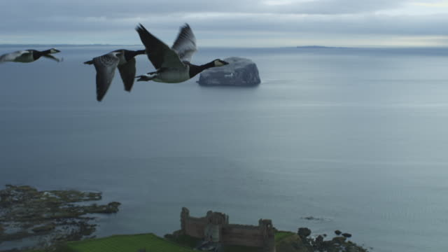 vídeos y material grabado en eventos de stock de air-to-air flying alongside line of barnacle geese with tantallon castle then bass rock in background  - cuatro animales
