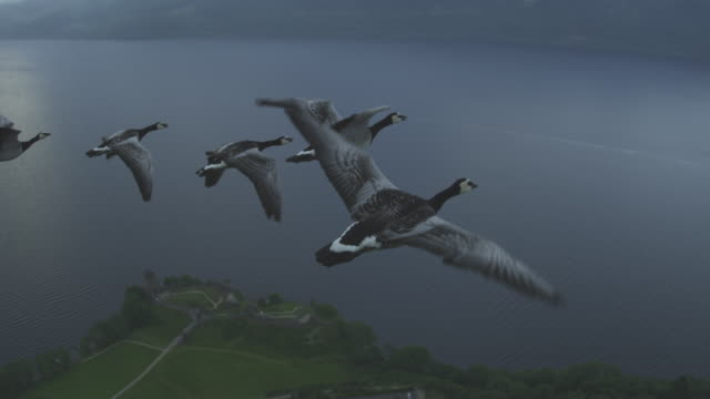 Air-to-air HA flying alongside line of Barnacle Geese with Urquhart Castle in background