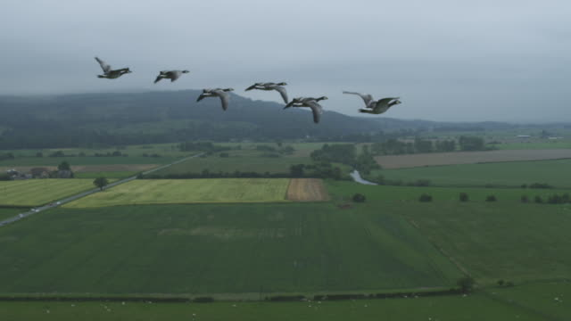air-to-air slo mo flying alongside then behind group of barnacle geese with farmland then clear sky in background - goose stock videos & royalty-free footage