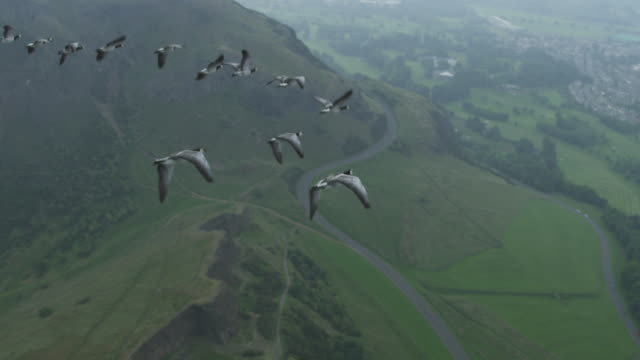 Air-to-air SLO MO WS flying alongside then behind line of Barnacle Geese with Edinburgh suburbs in background