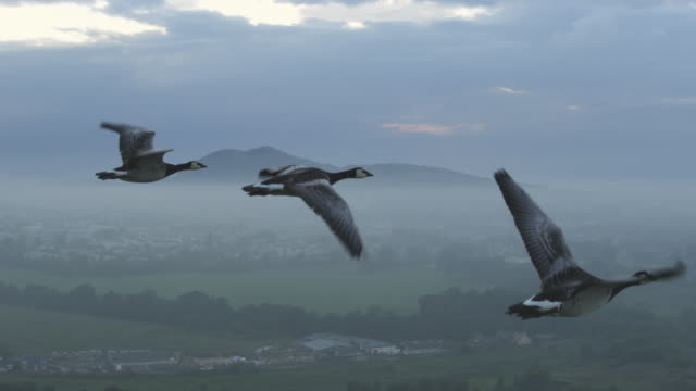 air-to-air slo mo group into ms flying alongside barnacle geese with misty edinburgh suburbs then clear sky in background - tracking shot stock videos & royalty-free footage
