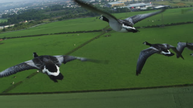 Air-to-air SLO MO group into MS flying alongside then behind Barnacle Geese with farmland in background