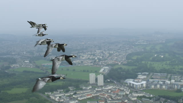 Air-to-air SLO MO group of Barnacle Geese flying with misty Edinburgh suburbs in background