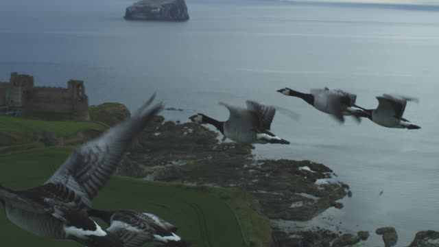 air-to-air group shot into ms flying behind then alongside barnacle geese along coastline - air to air shot stock videos & royalty-free footage