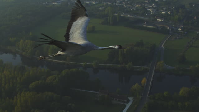 air-to-air ms into 2-shot flying alongside common crane with rural landscape in background - air to air shot stock videos & royalty-free footage