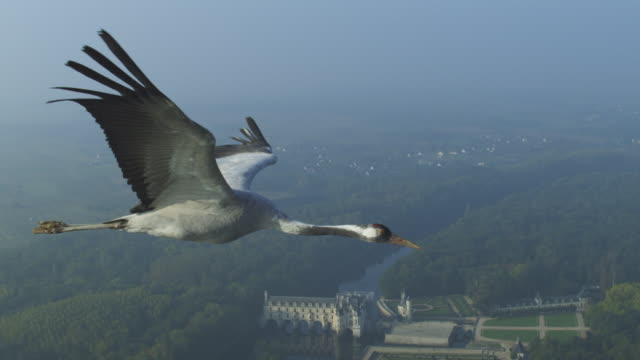 air-to-air ms into cu alongside common crane flying with chateau de chenonceau in background  - crane stock videos & royalty-free footage