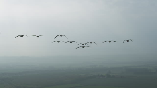 vidéos et rushes de air-to-air slo mo la ws into cu behind group of barnacle geese gliding and flying with sky then misty landscape in background - grand groupe d'animaux