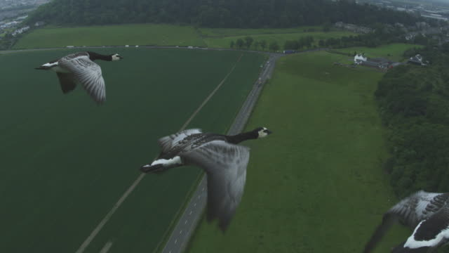 Air-to-air MS into CU flying alongside 3 Barnacle Geese with Stirling Castle in background
