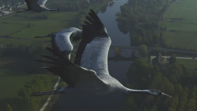 vídeos y material grabado en eventos de stock de air-to-air ms into cu flying alongside 4 common cranes with rural landscape and river in background  - cuatro animales