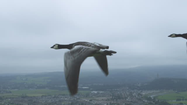 air-to-air slo mo ms into cu flying alongside and behind barnacle geese with stirling castle in background - oca uccello d'acqua dolce video stock e b–roll
