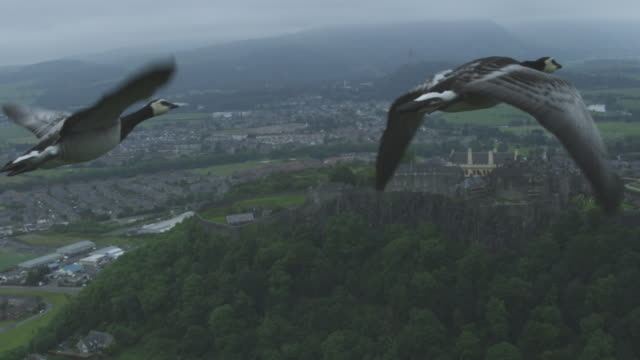Air-to-air SLO MO MS into WS flying alongside Barnacle Goose very close to camera with Stirling Castle in background