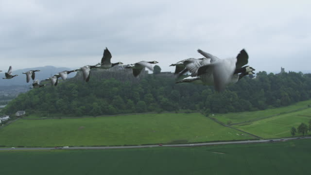 Air-to-air MS into CU flying alongside group of Barnacle Geese changing places with Stirling Castle in background