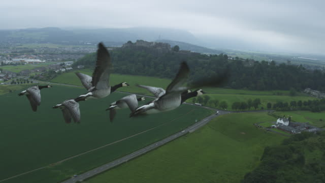 Air-to-air WS into CU flying alongside group of Barnacle Geese very close to camera with Stirling Castle in background