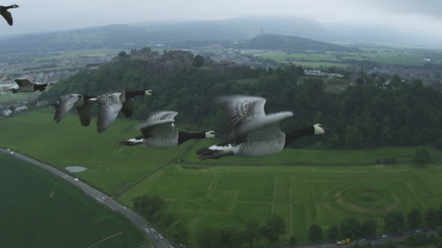 Air-to-air MS into CU flying alongside group of Barnacle Geese with farmland then Stirling Castle in background
