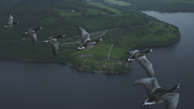 Air-to-air HA MS into WS flying with 6 Barnacle Geese with Urquhart Castle and shore of Loch Ness in background