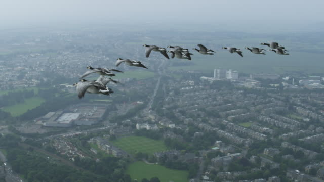 Air-to-air SLO MO MS into CU group of Barnacle Geese flying with misty Edinburgh suburbs in background