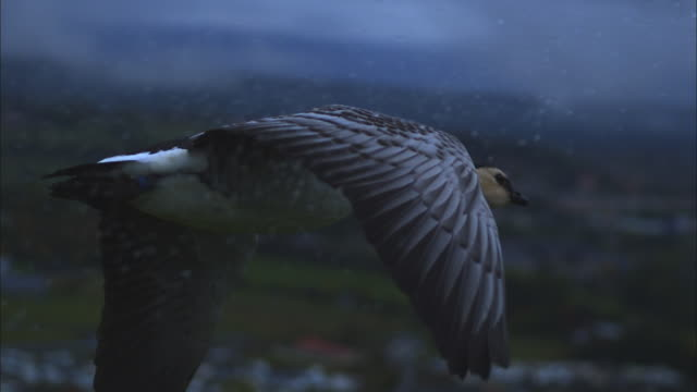 air-to-air slomo ms behind barnacle goose flying in rain with farmland in background - goose stock videos & royalty-free footage