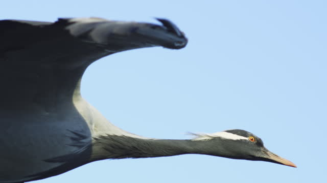 air-to-air slomo la cu head of gliding demoiselle crane with blue sky - flugzeug in der luft stock-videos und b-roll-filmmaterial