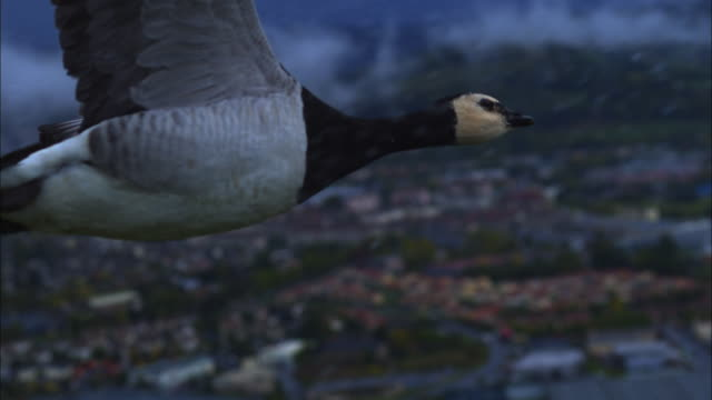 air-to-air slomo ms with barnacle goose flying in heavy rain with city in background - goose stock videos & royalty-free footage