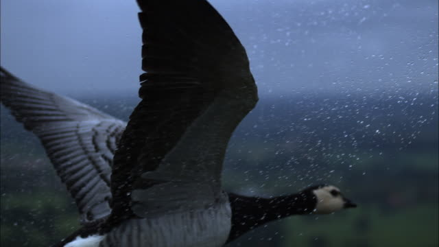 Air-to-air SLOMO CU with Barnacle goose flying in heavy rain with raindrops bouncing off wings