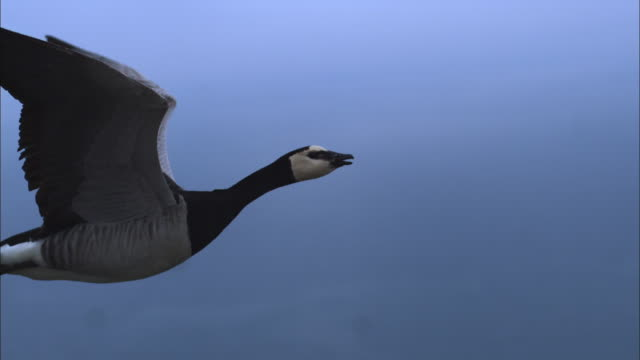 air-to-air slomo ms with barnacle goose flying in profile and calling - goose stock videos & royalty-free footage