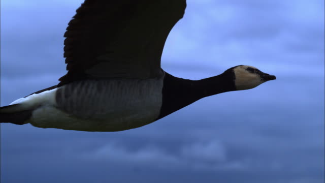 air-to-air slomo ms with barnacle goose flying in profile as rain starts - goose stock videos & royalty-free footage