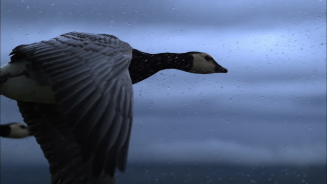 air-to-air slomo cu with barnacle goose flying in rain - goose stock videos & royalty-free footage