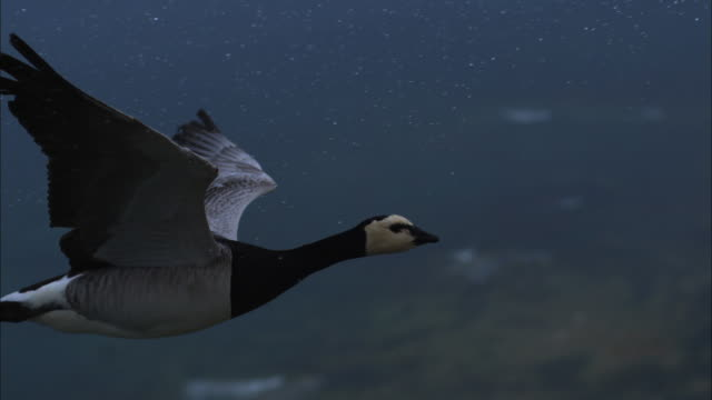 air-to-air slomo ms with barnacle goose flying in rain - goose stock videos & royalty-free footage