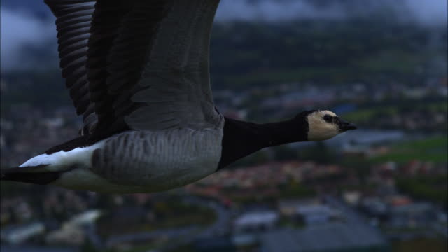 air-to-air slomo ms with barnacle goose flying with city in background - goose stock videos & royalty-free footage