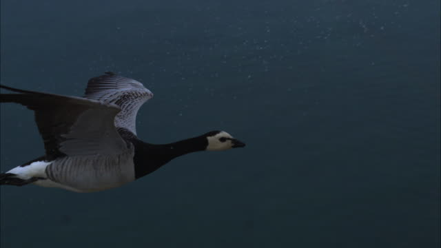 air-to-air slomo ms with barnacle goose flying with sea in background - biologia video stock e b–roll