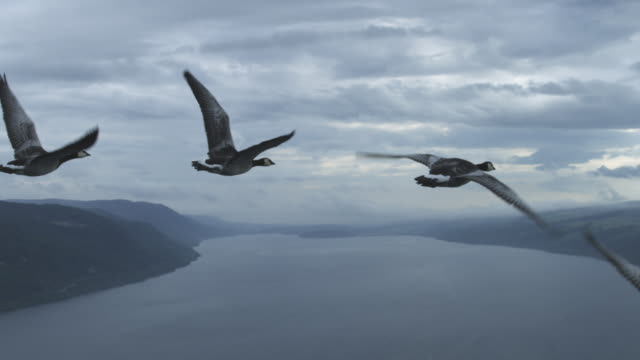 air-to-air slo mo track along line of barnacle geese flying over loch ness  - 動物の翼点の映像素材/bロール