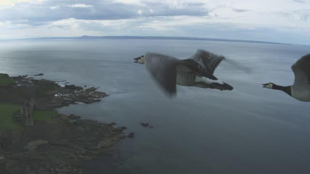 vídeos y material grabado en eventos de stock de air-to-air track and pan flying with group of barnacle geese along coastline  - grupo mediano de animales