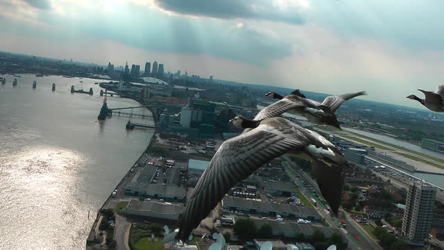 air-to-air track behind 4 barnacle geese flying over london docklands - limb body part stock videos & royalty-free footage