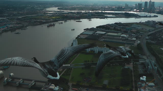 air-to-air track with 3 barnacle geese flying over london docklands - three animals stock videos & royalty-free footage