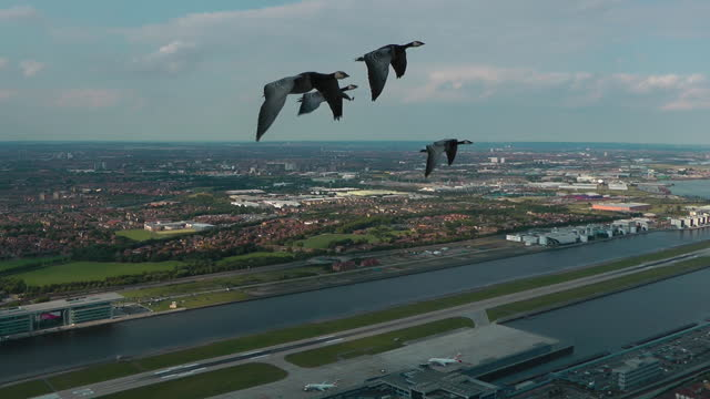 air-to-air ws track with 4 barnacle geese flying over london city airport - small group of animals stock videos & royalty-free footage