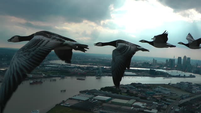 air-to-air track with 4 barnacle geese flying over london docklands - small group of animals stock videos & royalty-free footage