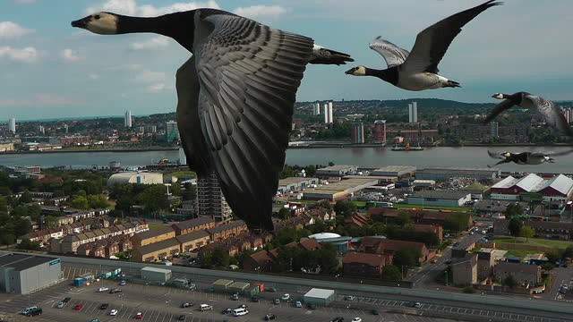 air-to-air track with 5 barnacle geese flying over london docklands - small group of animals stock videos & royalty-free footage