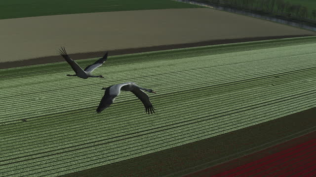 air-to-air ha tracking with 2 common cranes flying over fields - animal migration stock videos & royalty-free footage