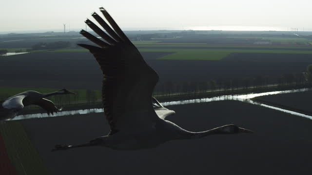 vídeos de stock, filmes e b-roll de air-to-air ha ms tracking with 3 common cranes flying over fields backlit - grupo pequeno de animais