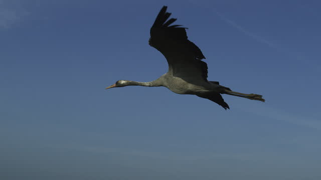 air-to-air la ms tracking with common crane gliding against blue sky - 北ホラント州点の映像素材/bロール