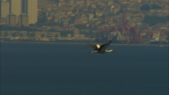 vídeos de stock, filmes e b-roll de air-to-air pan with white storks flying into wind over sea then with istanbul in background - grupo pequeno de animais