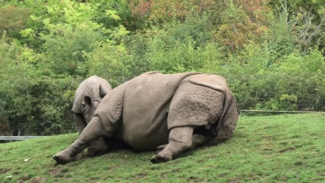 """""""akeno the greater one-horned rhino calf from chester zoo is just a barrel of energy. he runs around with those cute little wiggly ears headbutting... - working animals stock videos & royalty-free footage"""