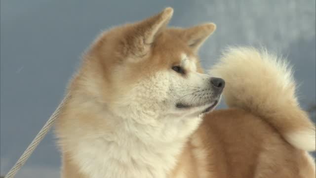 """akita dog or """"akita inu"""" - japan - 秋田県点の映像素材/bロール"""