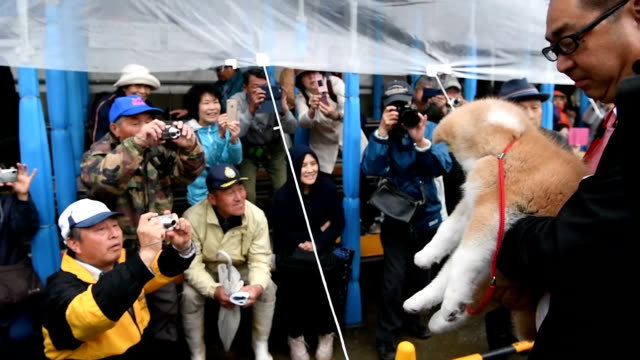 ODATE Akita PrefectureTo Russia with love Masaru an Akita Inu puppy was shown to the public here on May 3 before she heads off to Russia to meet her...