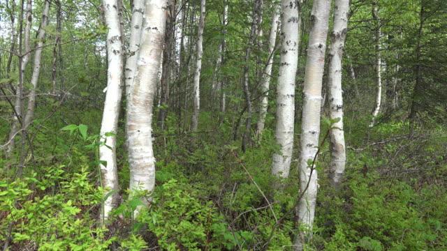 stockvideo's en b-roll-footage met alaska birch tree trunks - berk