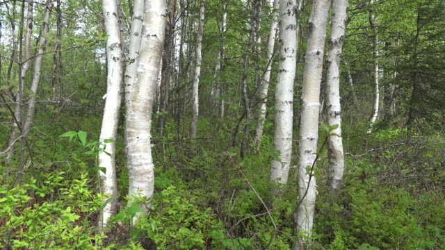 stockvideo's en b-roll-footage met alaska birch trees tilt up - berk