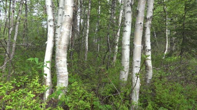 Alaska birch trees tilt up