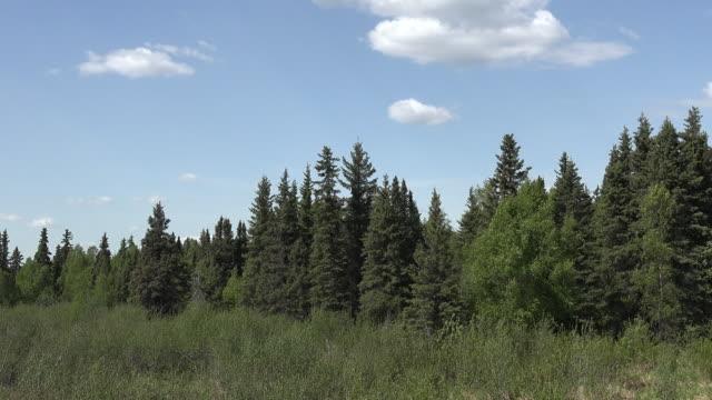 Alaska forest and blue sky pan
